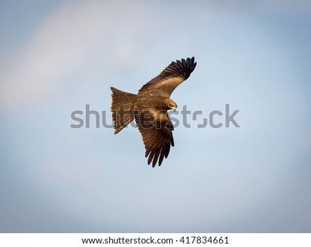 Black Kite flying in the thermals in Bangalore Indian. These raptors usually circle for hours on the lookout for carrion and scraps of food. They also will catch dragonflies and dine when in flight.