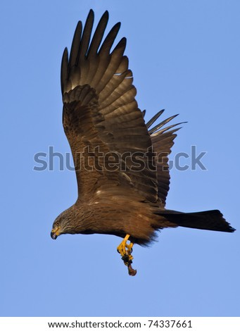 Black Kite flying with hunt at the blue sky - stock photo