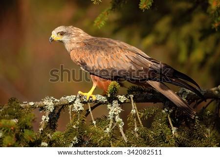 Black Kite, Milvus migrans, brown bird of prey sitting larch tree branch, animal in the habitat - stock photo