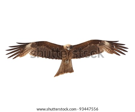 Black Kite (Milvus migrans) wings open, isolated on white - stock photo