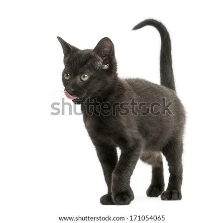 Black kitten licking, standing, 2 months old, isolated on white - stock photo