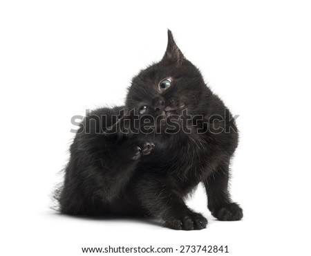 Black kitten scratching in front of a white background - stock photo
