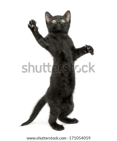 Black kitten standing on hind legs, reaching, pawing up, 2 months old, isolated on white - stock photo