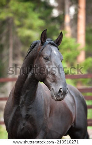 black Kladruber horse portrait in paddok - stock photo