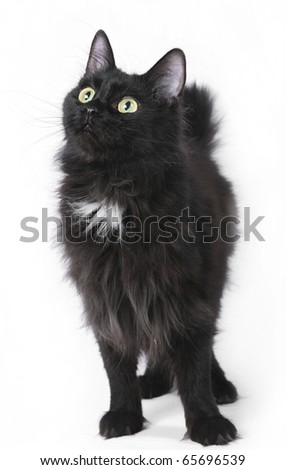Black kurilian bobtail. - stock photo