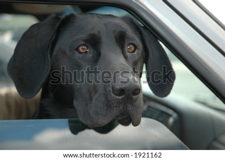black lab in car window - stock photo