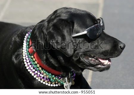 Black lab in sunglasses and mardi gras beads - stock photo