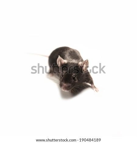 Black lab mouse isolated on white background - stock photo