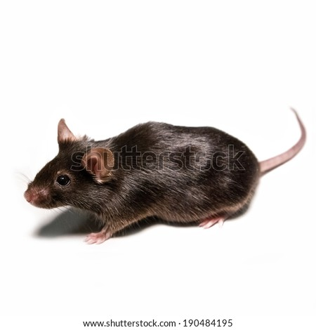 Black lab mouse isolated on white background - stock photo