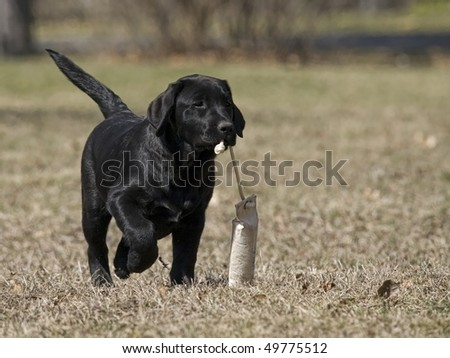 Black Lab puppy happily retrieving her bumper. - stock photo