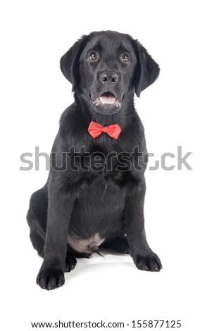 black lab puppy, two months old - Stock Image - stock photo
