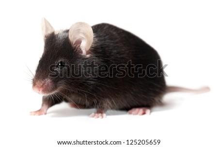 Black laboratory mouse, adult female, isolated on white - stock photo