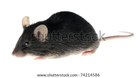 Black laboratory mouse isolated on white. This animal is adult female. - stock photo
