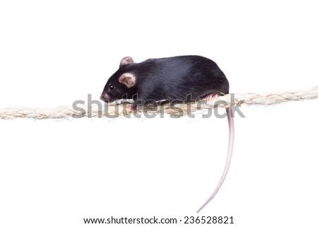 Black laboratory mouse on a rope. Isolated on white background - stock photo