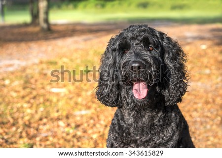 Black labradoodle labrador poodle dog pet sitting outside watching waiting alert looking hot happy excited white panting smiling and staring at camera - stock photo