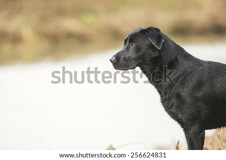 Black Labrador by River - stock photo
