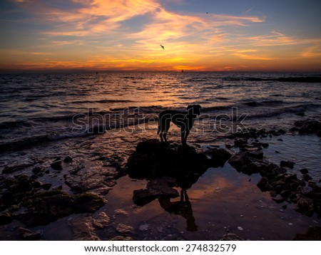 black labrador dog, in sunset at the beach - stock photo