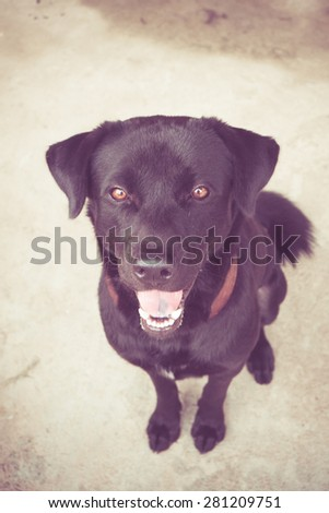 Black labrador dog with filter effect retro vintage style - stock photo