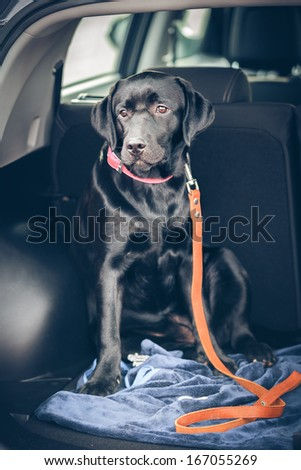 black labrador in car - stock photo