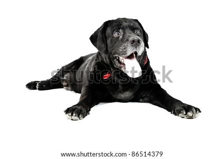 Black labrador isolated on white background - stock photo