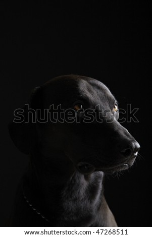 Black Labrador portrait in black background