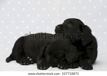 Black Labrador Puppies on a blue, spotty background