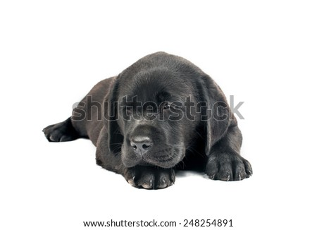 Black Labrador puppies on a white background