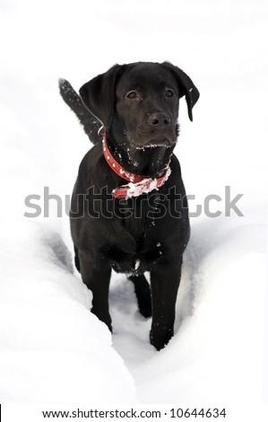 Black Labrador puppy in deep snow - stock photo