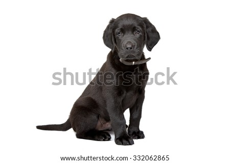 black Labrador puppy sitting in front of a white background - stock photo