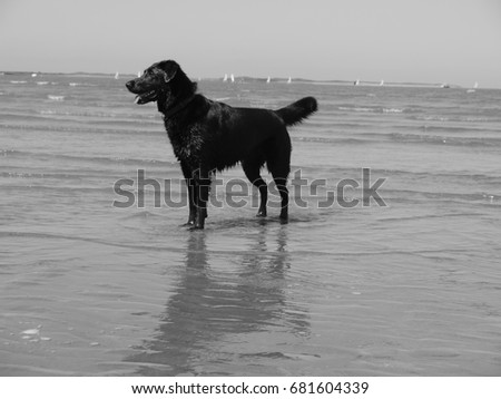 Black Labrador Retriever at the Seaside