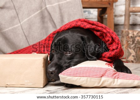 Black labrador retriever covered with red plaid. Christmas and New Year greeting. - stock photo
