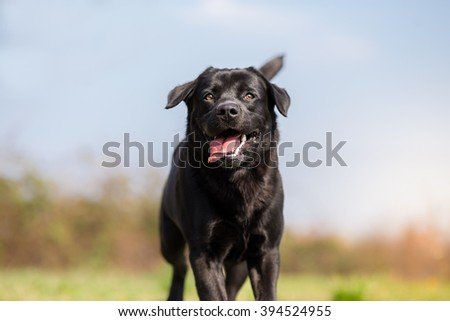 Black Labrador retriever dog in run - Nose in Focus