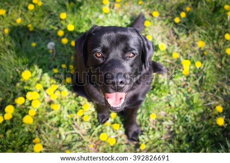 Black labrador retriever dog looking up - Spring Portrait - stock photo