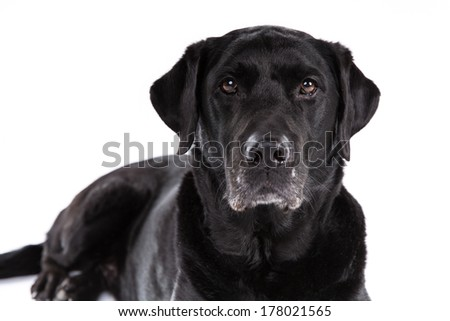 Black labrador retriever dog on a white background