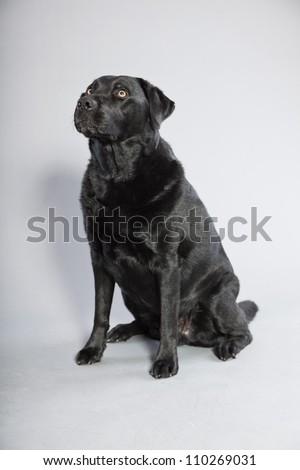 Black labrador retriever dog with light brown eyes isolated on grey background. Studio shot. - stock photo