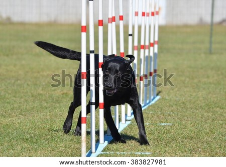 Black Labrador Retriever Doing Weave Poles at Dog Agility Trial - stock photo