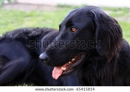 black labrador retriever (female) - stock photo