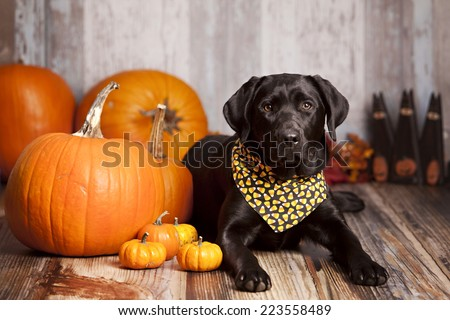 Black Labrador Retriever in a candy corn bandanna sitting next to some large pumpkins and gourds.   - stock photo