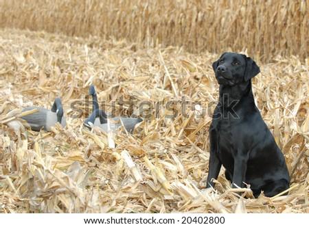 black labrador retriever in corn field with geese - stock photo