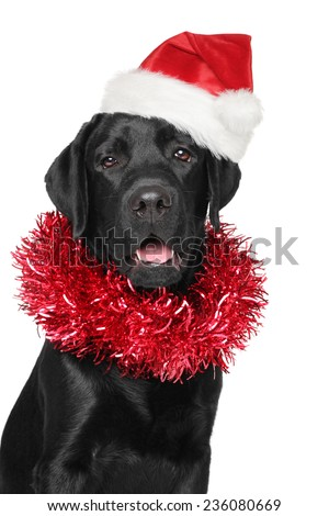 Black Labrador retriever in Santa Christmas red hat. Portrait on isolated white background - stock photo