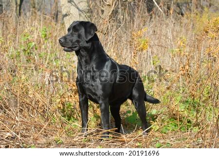 black labrador retriever in the woods in the autumn season - stock photo