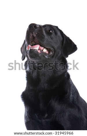 black labrador retriever isolated on a white background
