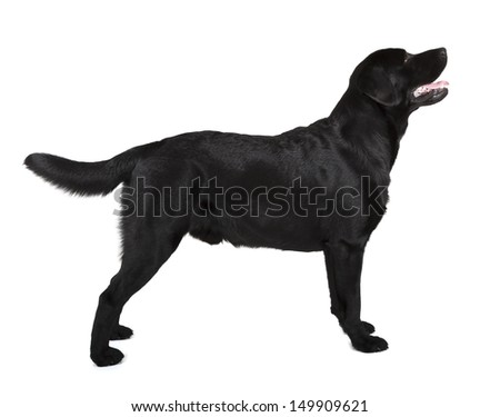 black labrador retriever isolated on white background