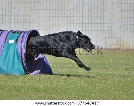Black Labrador Retriever Leaving a Tunnel at a Dog Agility Trial - stock photo