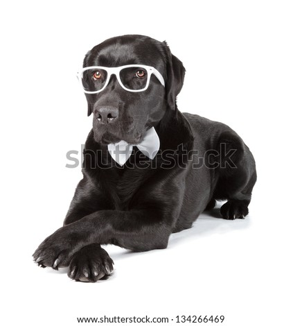 Black Labrador Retriever 16 months old isolated on white background - stock photo