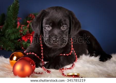 Black Labrador retriever puppy christmas new year gift on dark blue background golden red balls white fur - stock photo