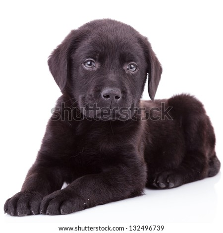 black labrador retriever puppy dog lying down and looking at the camera - stock photo