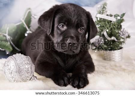 Black Labrador retriever puppy dog on dark blue background christmas new year gift studio photo - stock photo