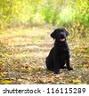 Black labrador retriever puppy in the autumn forest - stock photo