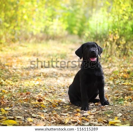 Black labrador retriever puppy in the autumn forest - stock photo